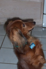 Lupus and a dachsund's perspective, I want to be like that!