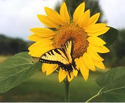 bfyellowonsunflower