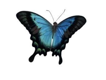 Butterfly Aqua