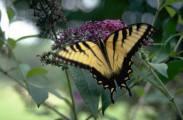 Butterfly Butter