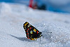 Butterfly in the Snow