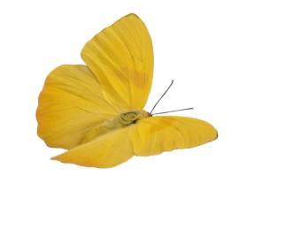 Butterfly Lemon