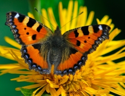 Butterfly Orangest