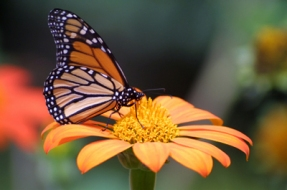 butterfly29