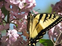 butterfly46