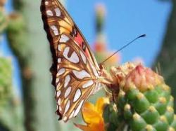 cactus butterfly brown and cream