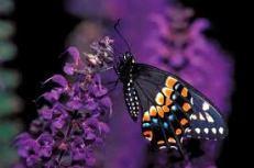 bf deep purple