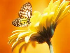 Butterfly on yellow daisy