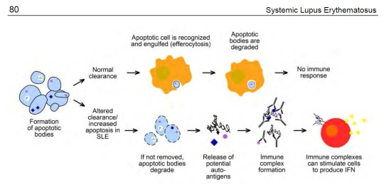 Lupus Diagram of Normal and Lupus Apoptosis Clearance - Copy