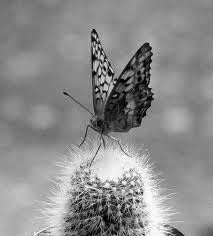 cactus butterfly black and white on jumping cactus